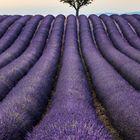Lavendel III
