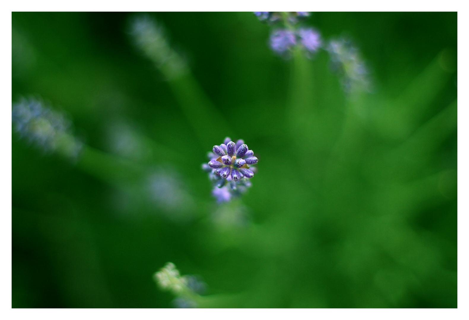 Lavendel im Fokus