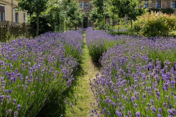 Lavendel bilder fotos - Kupka garten ...