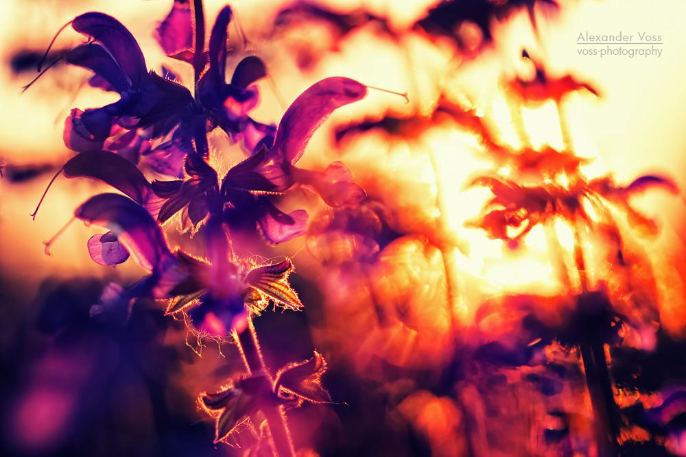 Lavendel im Gegenlicht