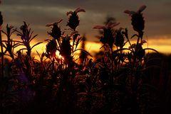 Lavendel im Glanz der untergehenden Sonne