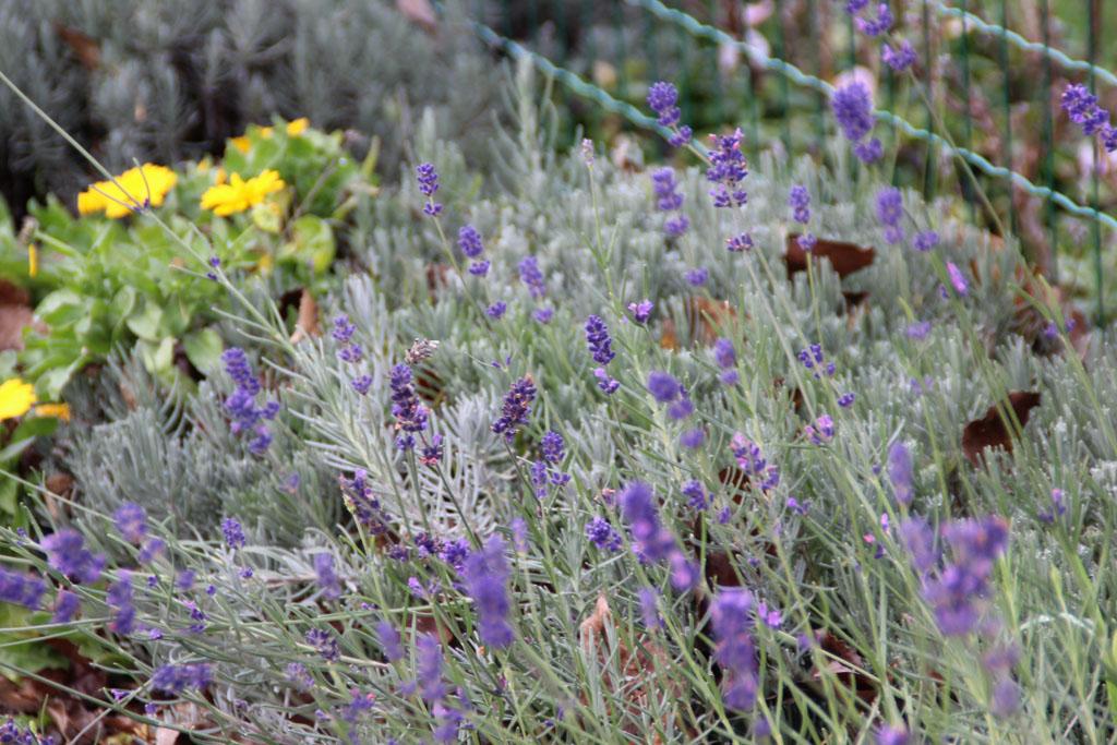 Lavendel im November