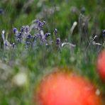 Lavendel in Hitchin