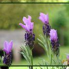 Lavendel Lace