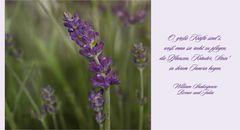 Lavendel - Lavandula...
