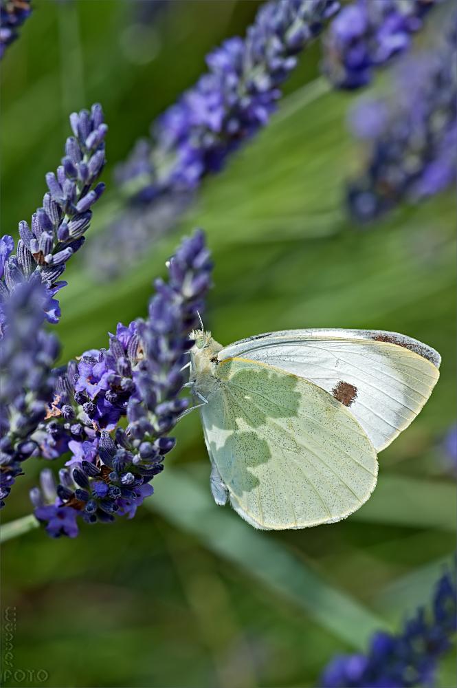 Lavendel-Lutscher