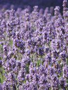 Lavendel-meer