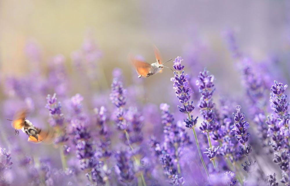 Lavendel-Schwärmer