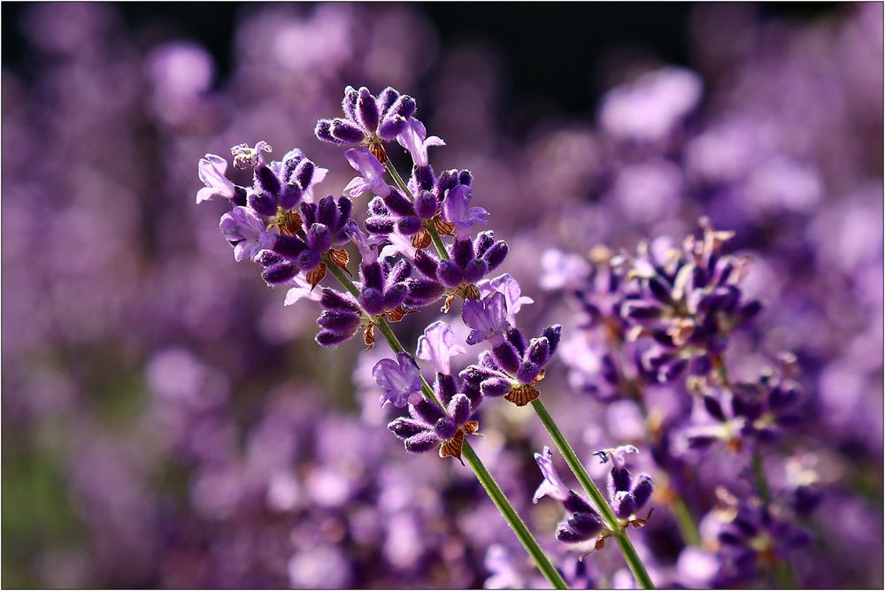 Lavendel-Traum