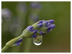Lavendel-Tropfen