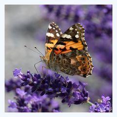 Lavendel und der Schmetterling