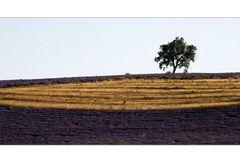 Lavendel und Korn