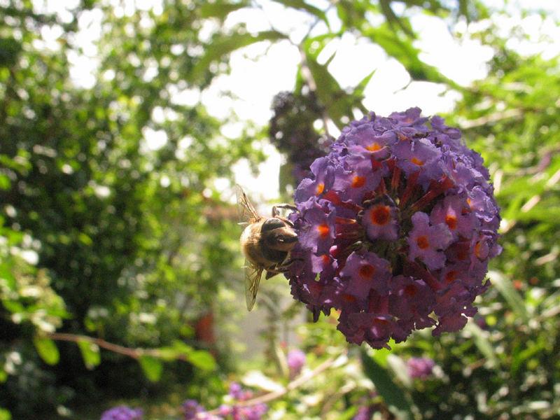 Lavendel Wespe