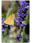 Lavendel_2