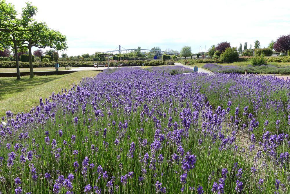 Lavendelbeet im Leverkusener Neulandpark
