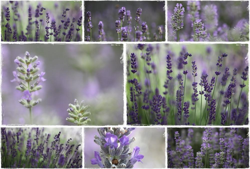 Lavendelcollage