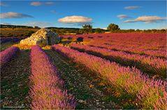 ~ ~ ~ Lavendelfeld ~ ~ ~