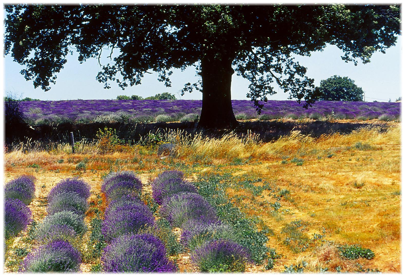 Lavendelfeld bei Sault