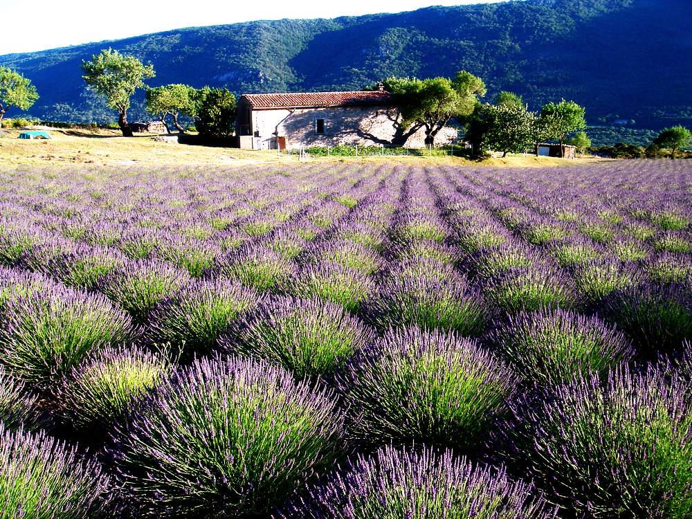 Lavendelfeld in der Nähe des Grand Canyon du Verdon