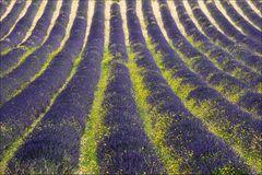 Lavendelfeld mit gelben Blumen