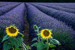 Lavendelfeld-mit-Sonnenblumen