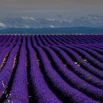 Lavendelfeld XXL