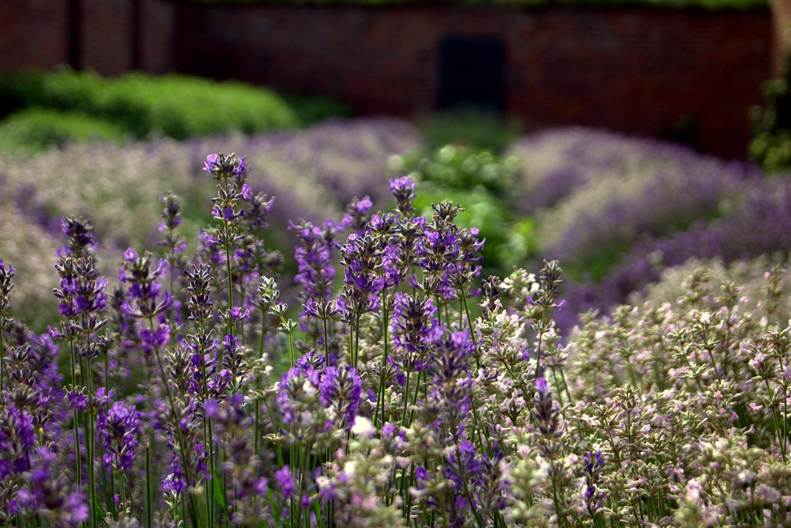 lavendelgarten foto bild pflanzen pilze flechten bl ten kleinpflanzen lavendel. Black Bedroom Furniture Sets. Home Design Ideas