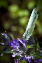 Lavendelpause