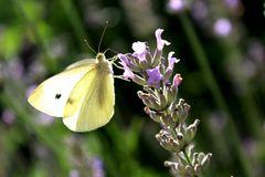 Lavendelrausch