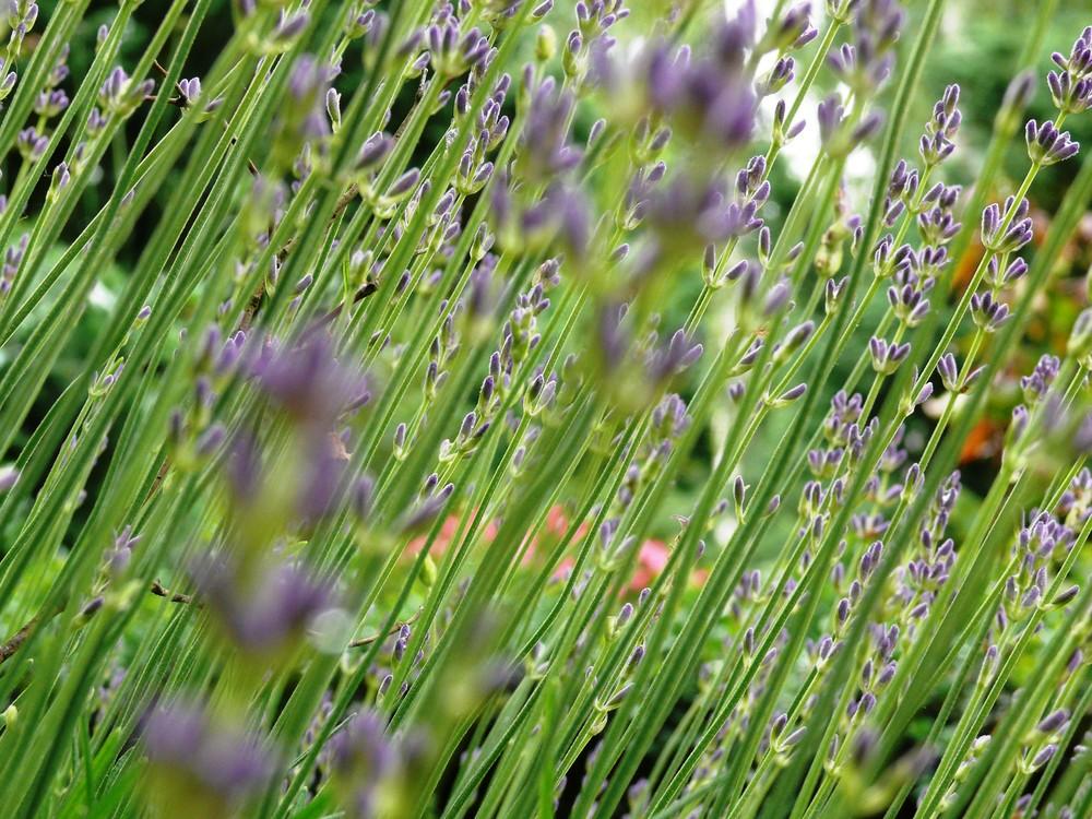 Lavendelstengel