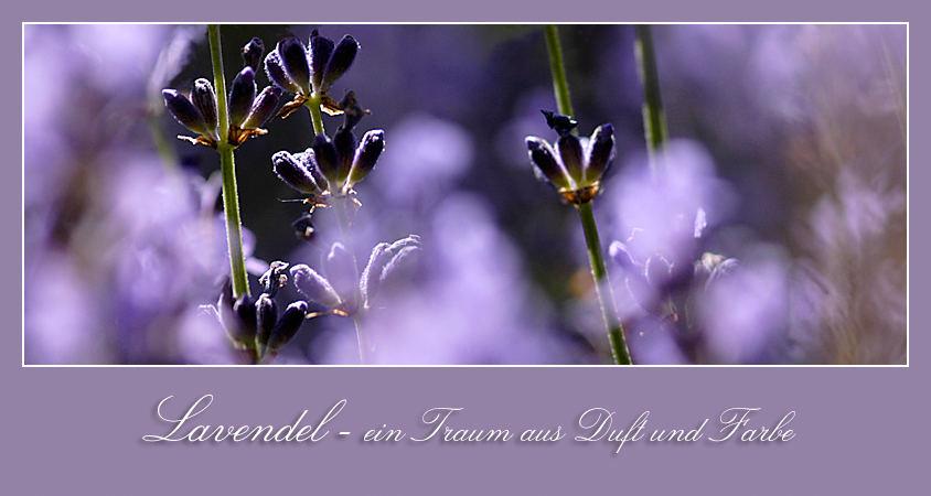 Lavendelzeit