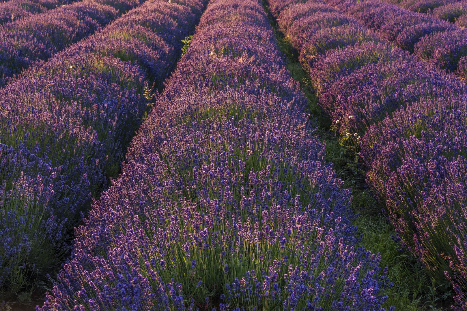 *lavender at sunset*