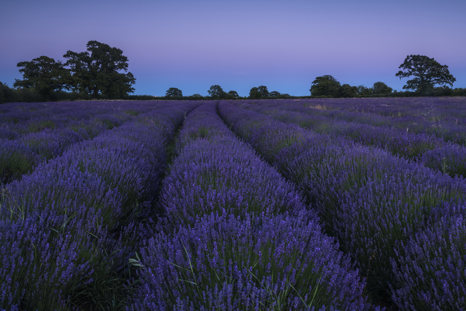 *lavender blue*