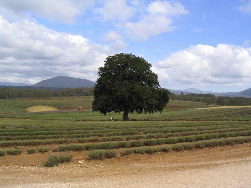 Lavender Farm in Northern Tassie
