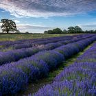 *lavender field*