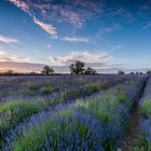 *lavender fields*