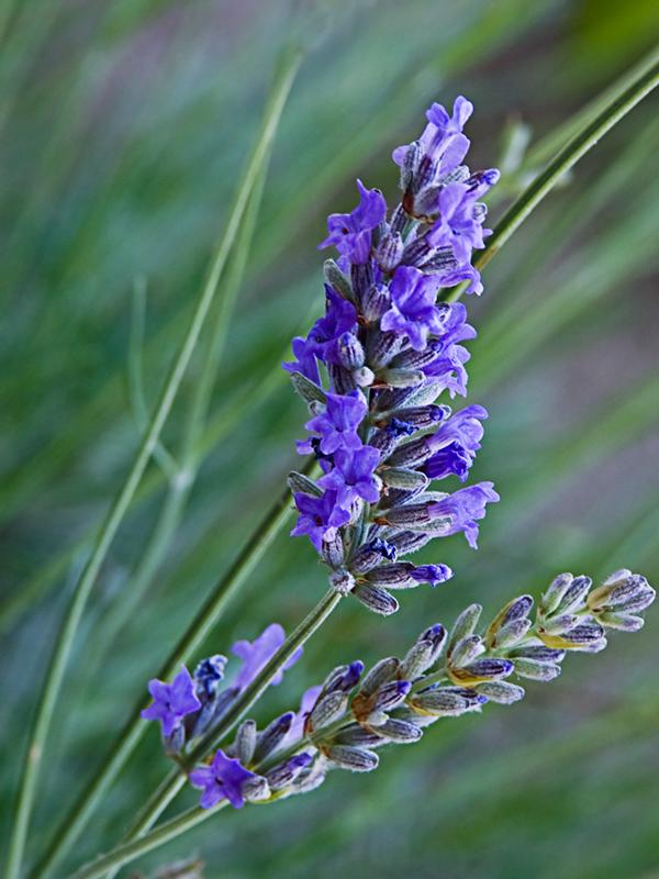 Lavender's fragrance