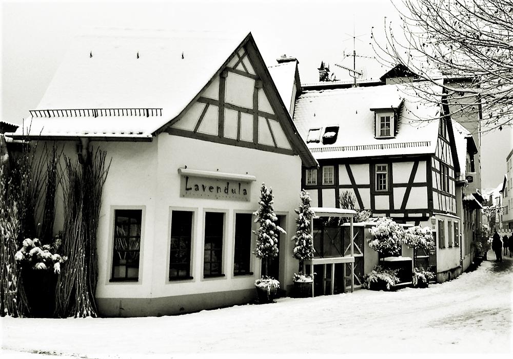 Lavendula im Winter