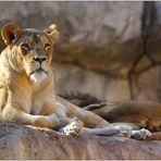 """""""Layla"""" die gute Löwenmutter ..."""