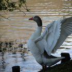 Lazing Goose