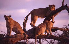 lazy lions 4 (reload)