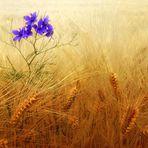 L'azzurro nel grano
