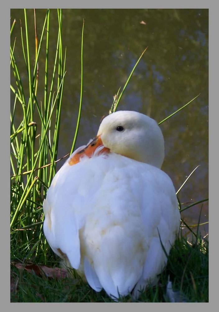 Le bec dans les plumes