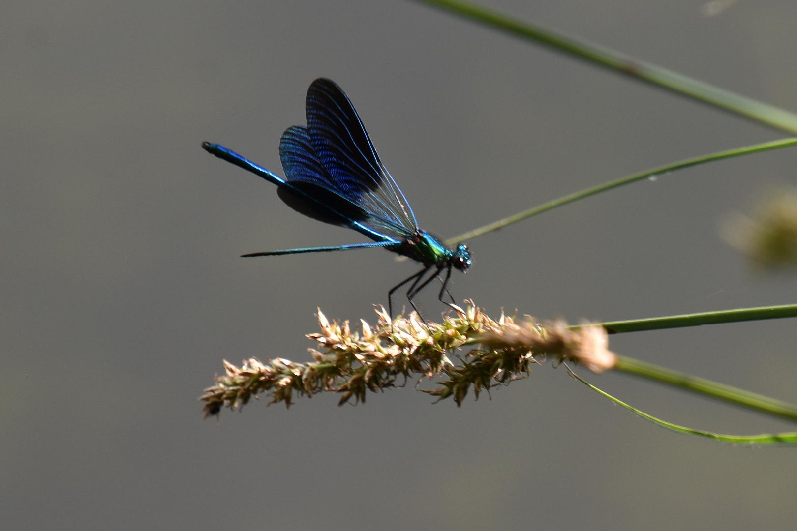Le calopteryx éclatant, mâle