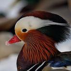 Le Canard mandarin (Aix galericulata)