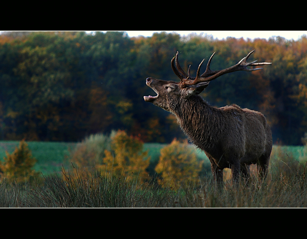 Le cerf.