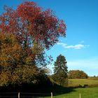 Le cerisier paré de couleurs automnales