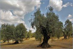 le champ d oliviers centenaires ....