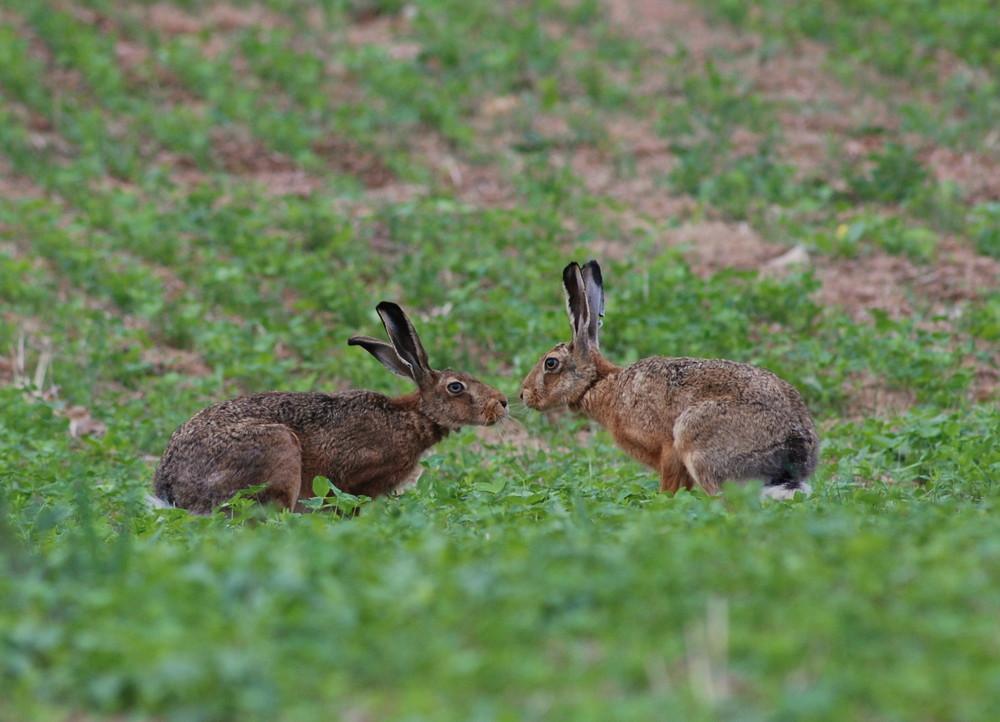 Le champs aux lièvres02
