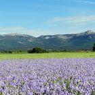 Le champs d' Iris à TRETS, BdR